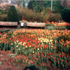 Tulips salvaged from the Kodak beds | Ray Swan