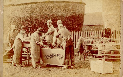 Sheep being dipped in Cooper's Dip by six workers | Berkhamsted Local History and Museum Society