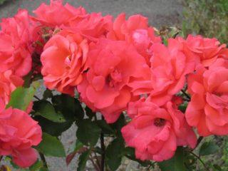 Roses just before the restoration, 2015   Liz Warriner